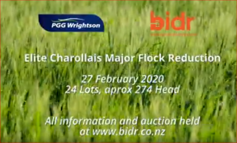 TO BE SOLD ON 'bidr' AUCTIONS - ELITE CHAROLLAIS MAJOR FLOCK REDUCTION SALE