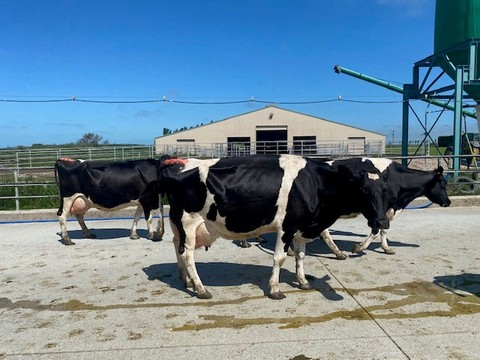 280 M/A High Capacity Friesian Herd - Selling InMilk for February Delivery