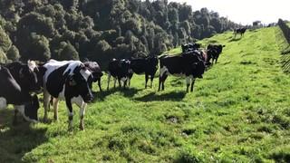 33 Autumn Calving Friesian & Friesian X Carryover VIC Cows, BW 78, PW 121, RA 96%