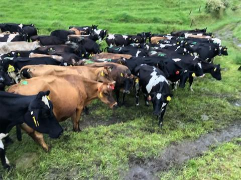 220 M/A Friesian/Friesian X & Jersey Hill Country Herd, BW 69, PW 94