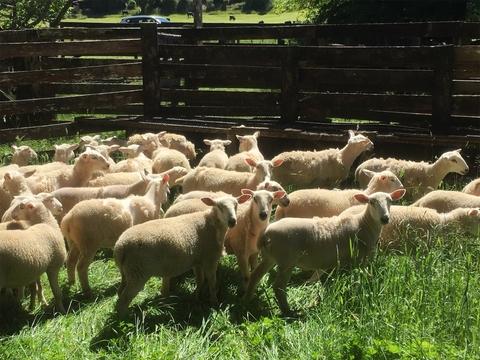 30 Wiltshire Ewe Lambs