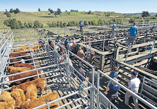 BRIGHTWATER SALE - 12:00pm - Sheep, 12:20/12:30pm - Cattle.