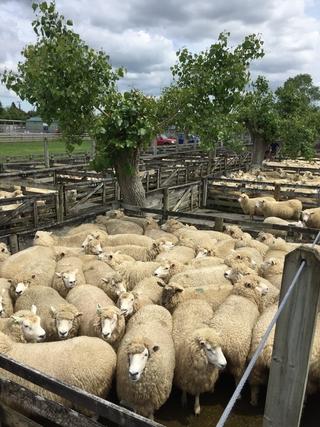 TUAKAU SHEEP & FEEDER CALF SALE