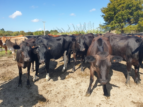 52 VIC Ambreed Crossbreed InCalf Heifers, BW 126, PW 153