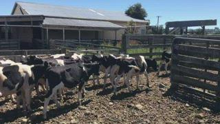 75 Friesian Weaner Bulls