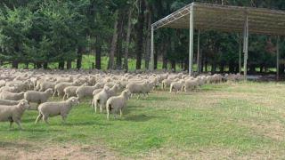 600 Turanganui Bred Ewe Lambs