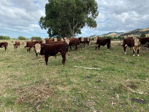 Pick from 2 to 10 Hereford Service Bulls