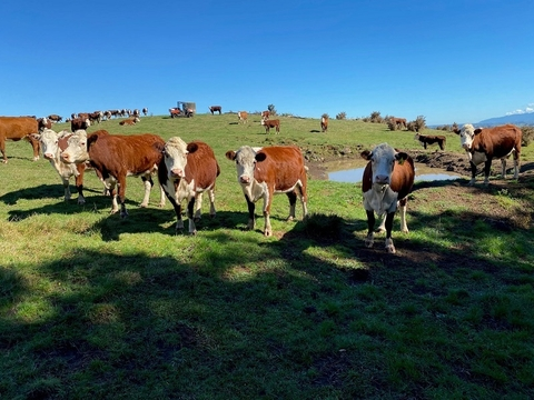69 M/A Hereford Cows