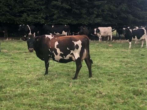 80 Affordable M/A Kiwi X Cows, BW 52, PW 30