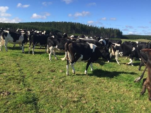 41 M/A Friesian/Friesian X Carryover Cows, BW 81, PW 97