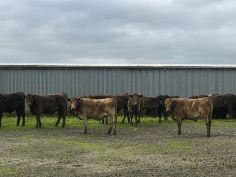 47-18mth Murray Grey, Friesian Steers