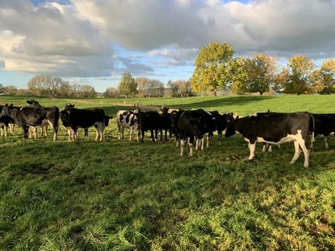 40 Frsn/Frsn X Incalf Heifers, BW 94, PW 84