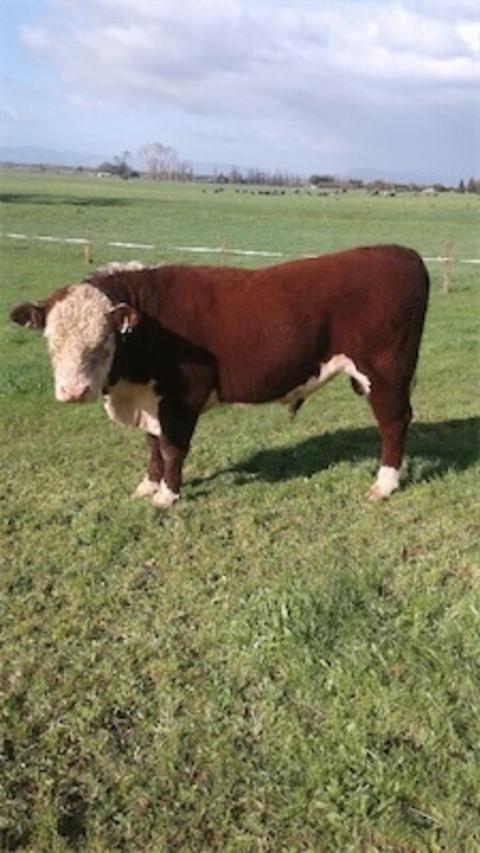 2 R2yr Pure Hereford Service Bulls