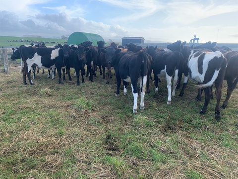 26 R1yr Crossbred Heifers
