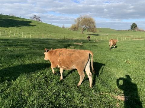 5 Jersey Yearling Heifers, BW 219, PW 160