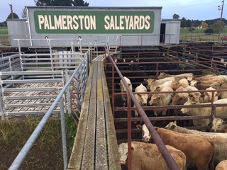 PALMERSTON 1ST SPRING CATTLE SALE (Covid Level 2 Selling Protocols)
