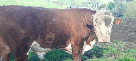 2yr Hereford bull