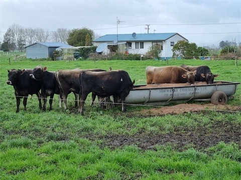 6 Recorded Yearling Jersey Bulls