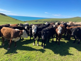 CANTERBURY PARK SPRING CATTLE STORE SALE (Covid Level 2 Selling Protocols)