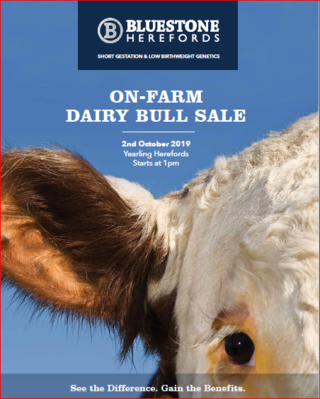 BLUESTONE HEREFORD DAIRY BULL SALE/AUCTION - CAVE